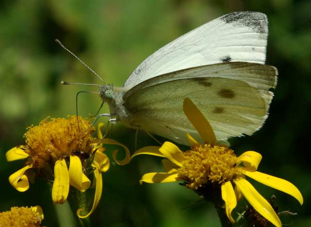 Babia Góra motyle, kwiaty
