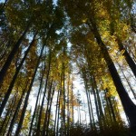 beskidzkie-drzewa
