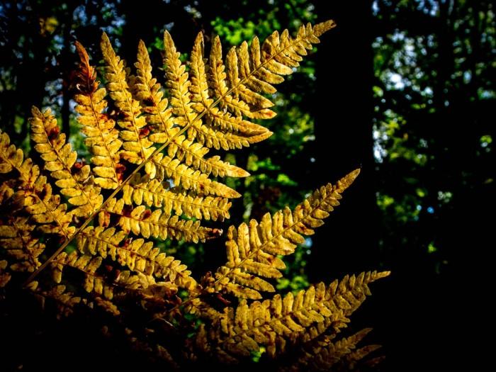 liść paproci jesienią