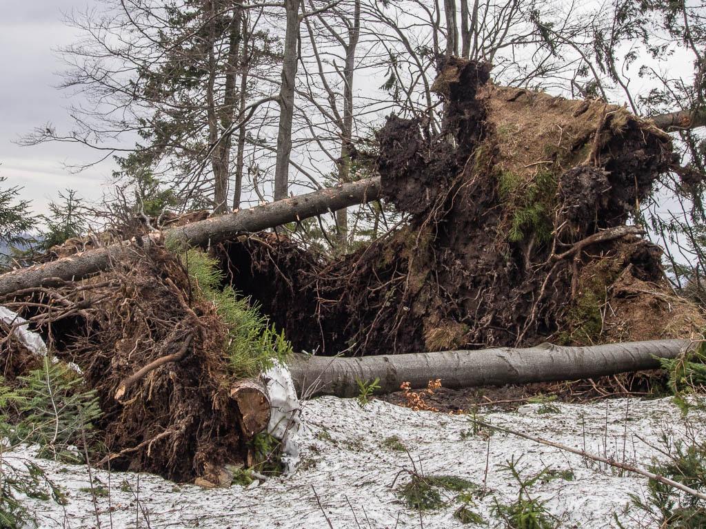 Wiatr halny i zniszczenia w Beskidach
