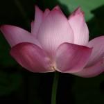 Kwiat-lotosu