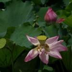 Lotos-kwiat-owoce