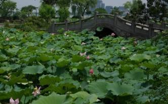 kwiaty-lotosu