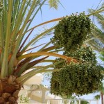 Palma-daktylowa