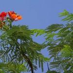 kwitnace-akacje