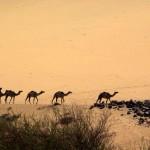 wielblady-na-pustyni