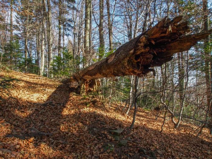 Las w Gorcach