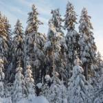 oszronione-drzewa
