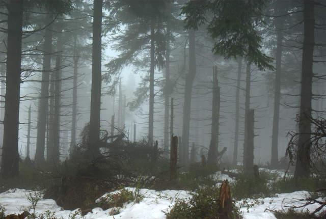 Góry Sowie, bory świerkowe