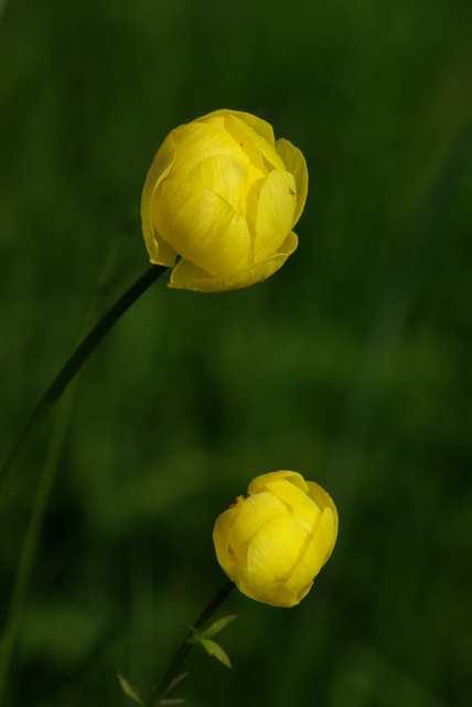 Pełnik europejski, Kłodzka róża
