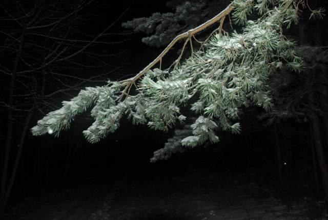 Gałązka sosny obsypana śniegiem