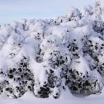 kosodrzewina-pod-sniegiem