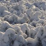 kosodrzewina-zima