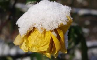 kwitnaca-roza-zima