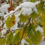 liscie-buka-snieg