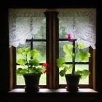 okno-pelargonia