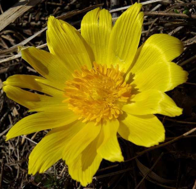 Miłek wiosenny - kwiat