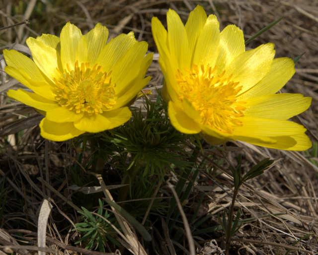 Miłek wiosenny - symbol Ponidzia