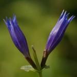 goryczka-trojesciowa-kwiaty