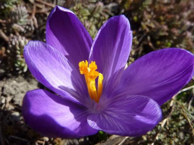 krokus kwiat
