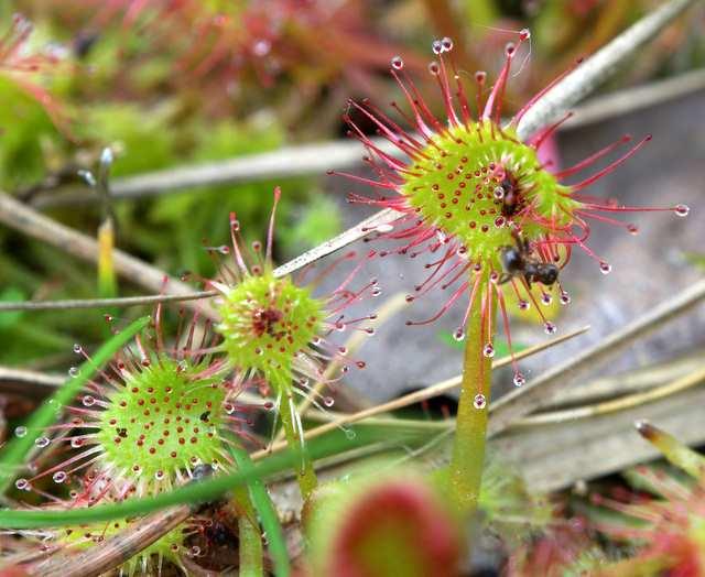 Rosiczka roślina owadożerna