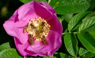 roza-faldolistna-owoce-1