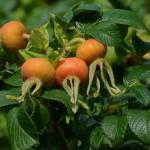 roza-faldolistna-owoce
