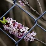 wawrzynek-wilczelyko-w-ogrodzie