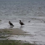 Ryf-Mew-kormorany