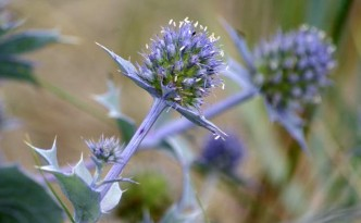 mikolajek-nadmorski-kwiat