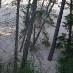 wydmy-drzewa