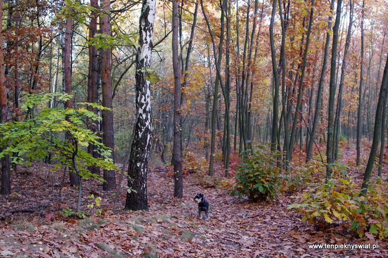 mój las Łabędzki Gliwice