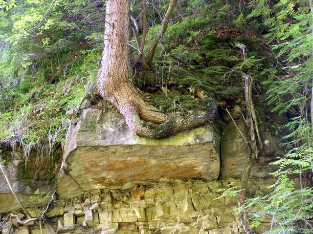 Drzewo rosnące na głazie.