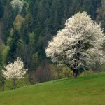 kwitnace-drzewa
