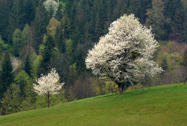 Wisłą - kwitnące drzewa
