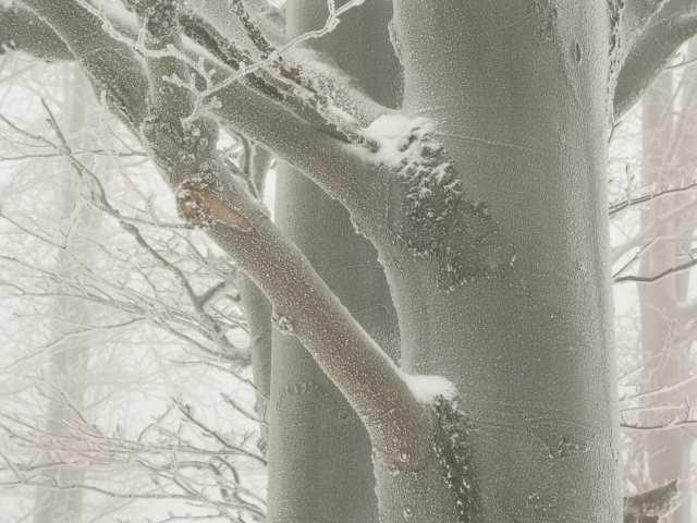 Szadź na drzewach