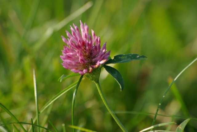 Koniczyna, kwiat