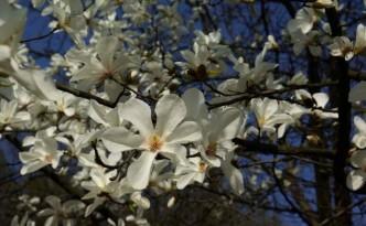 magnolia-kwiaty