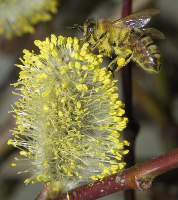 Wierzba iwa - kotki i pszczoła
