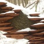 Huby-na-przewroconym-drzewie-Doly-Piekarskie