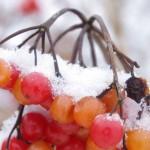 kalina-koralowe-owoce-zima