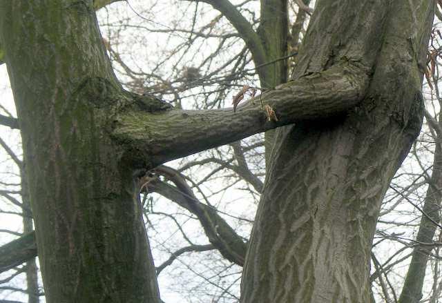 oobliwości przyrody, zrośnięte ze sobą drzewa