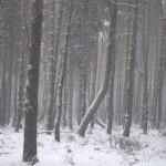 zimowy-bor