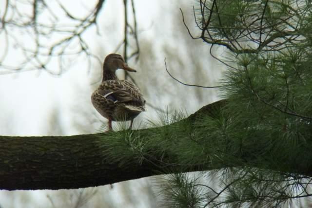 Kaczka krzyżówka na drzewie