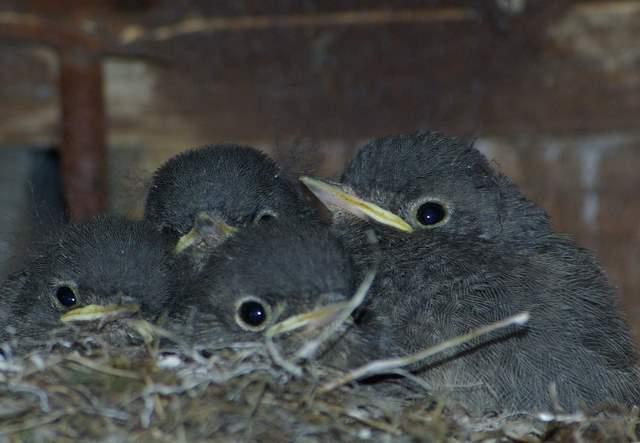 Kopciuszek - pisklęta w gnieździe