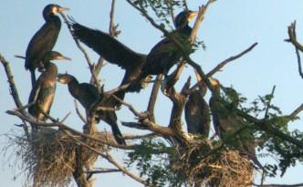 kormorany-w-gniezdzie.jpg