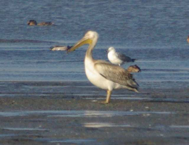 pelikan różowy, stawy Wielikąt