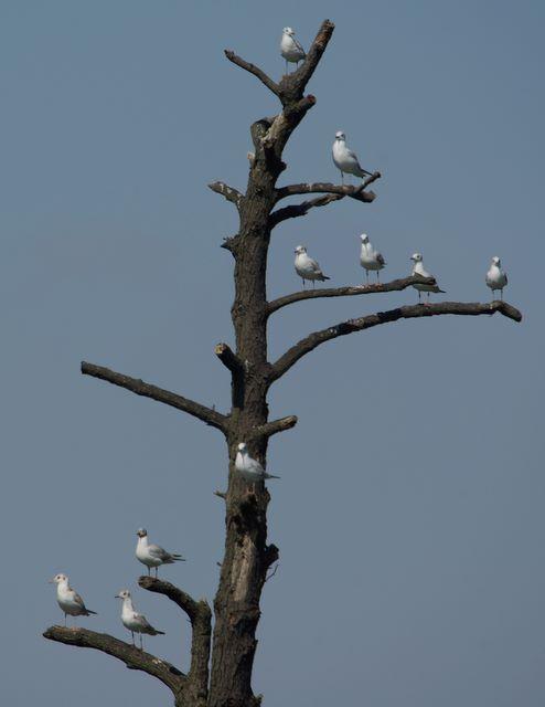 Wielikąt - mewy śmieszki obsiadły całe drzewo