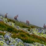 Kozice górskie