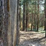 Zwierzyniec-las-sosnowy